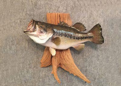 Bass On Driftwood
