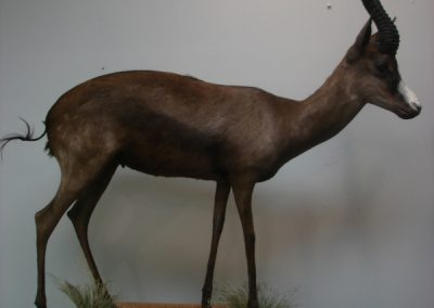 World Record Book SCI Black Springbok