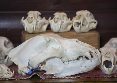 Bears Skull Mount