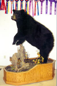Black Bear 600lbs