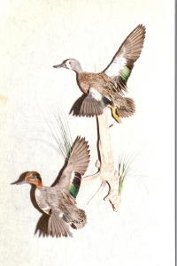 Blue Wing Teal and Green Wing Teal