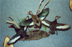 Brazilian Duck and Rosey Billed Pochards