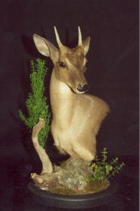 Brocket Deer