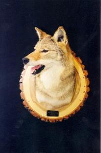 Coyote Shoulder Mount