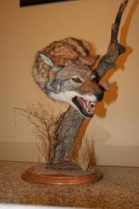 Coyote Pedestal Custom Agressive