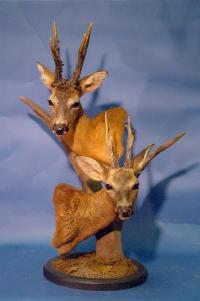 European Roe Deer Russia - Germany