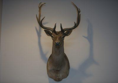Fallow Deer Argentina