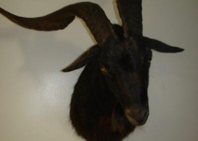 Goat Altered Form Aggressive