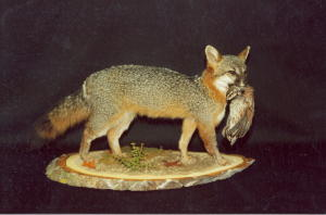 Grey Fox with Quail