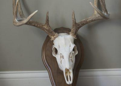 Whitetail Skull