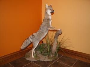 Patagonian Fox (Argentina)