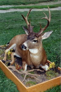 Sitka Blacktail Lifesize