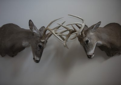 Whitetails Fighting